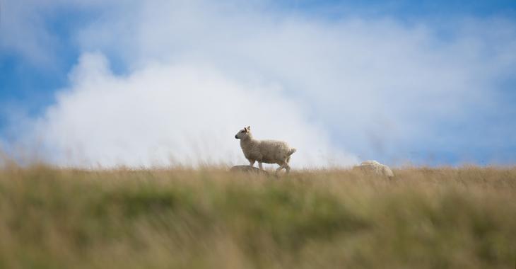 Ein Schaf am Deich