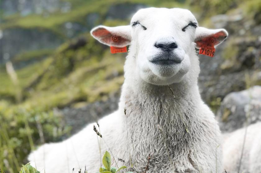 Glückliches Schaf dank recycling Wolle