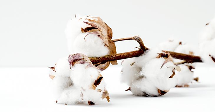 Baumwollzweig auf weißem Untergrund